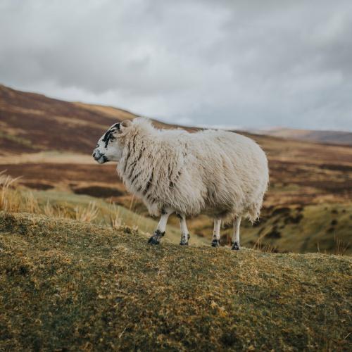 En el país de la ovejas