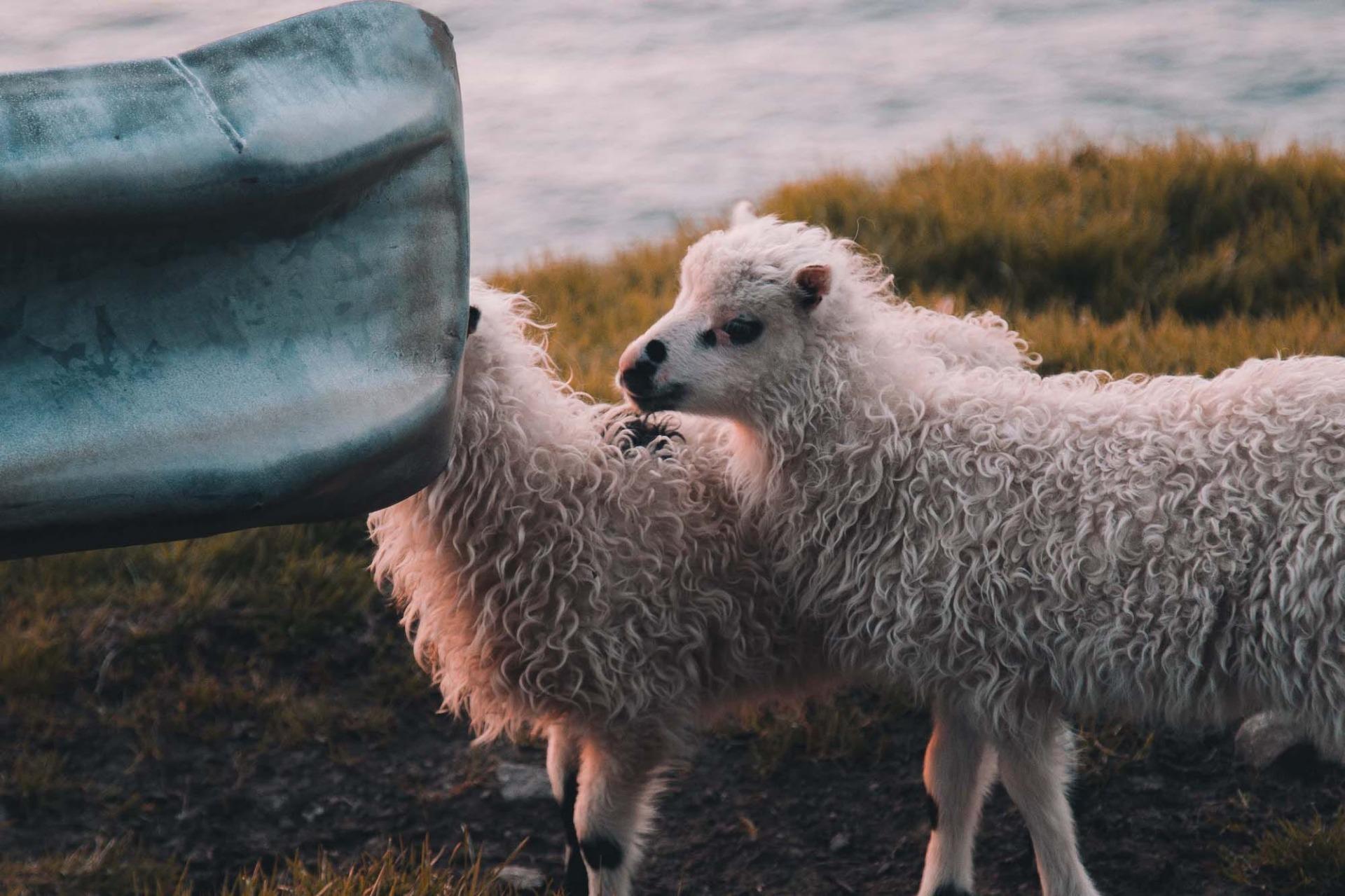 Färör Inseln Schafe