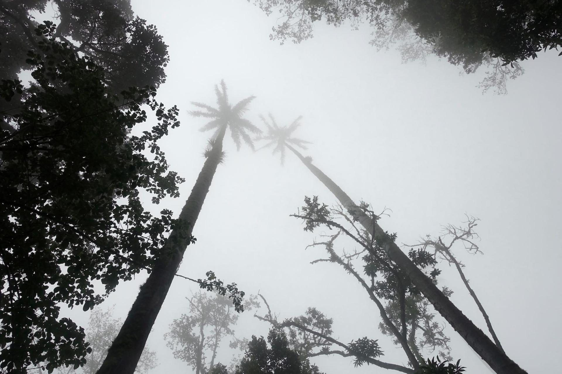 Wachspalmen Nebel