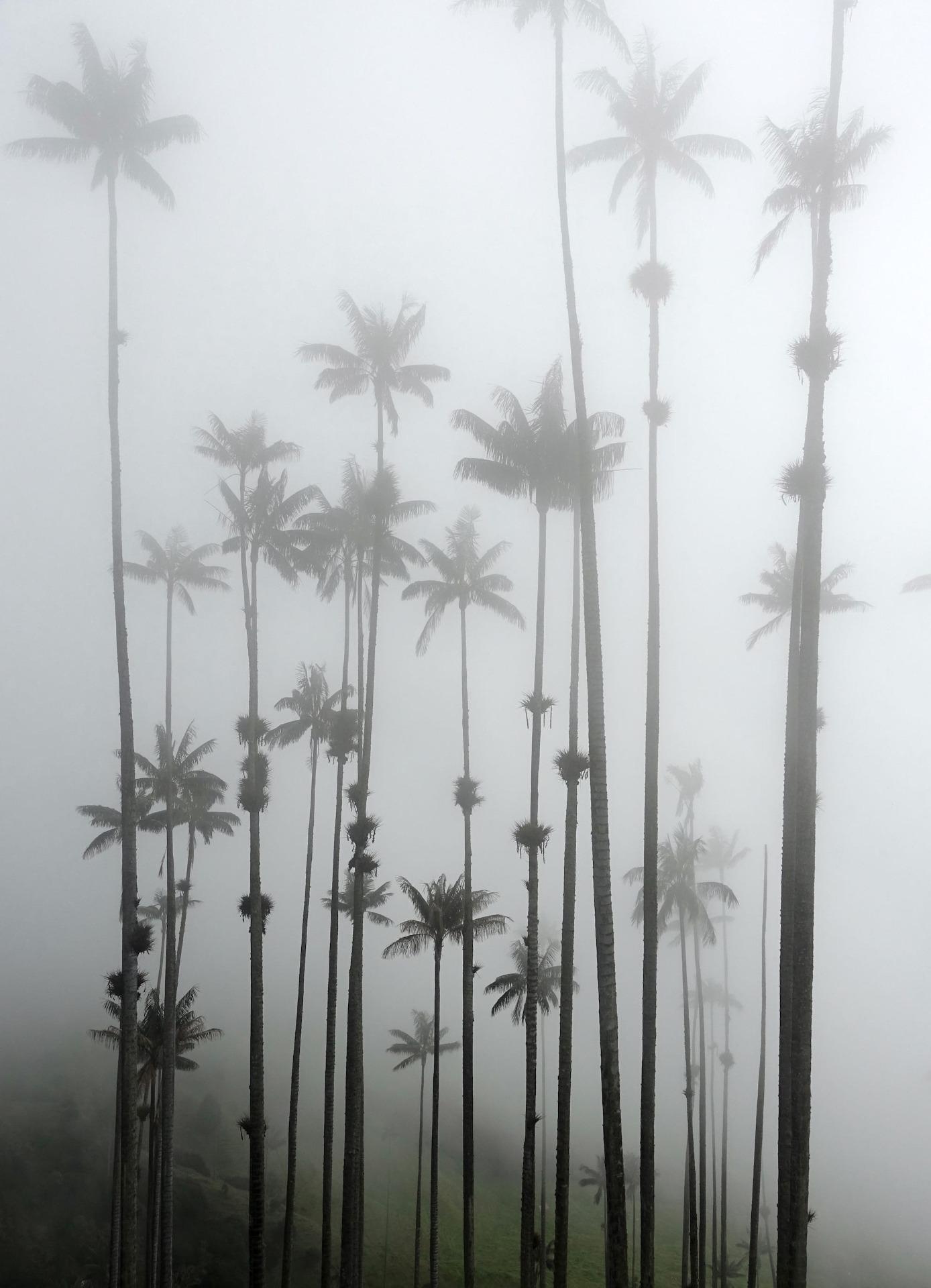 Wachspalmen Nebel zwei